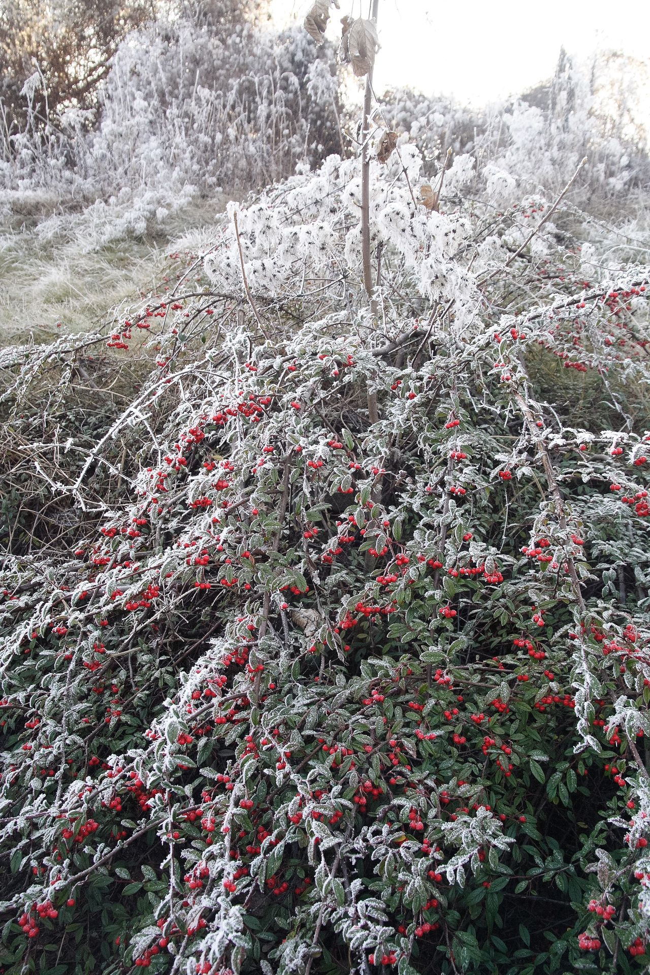 Cold Bough Bush Cold Temperature Branch Frosted Nature Rose Hip Frosted Frosted Landscapes Frosted Trees Ice Snow ❄ Snow