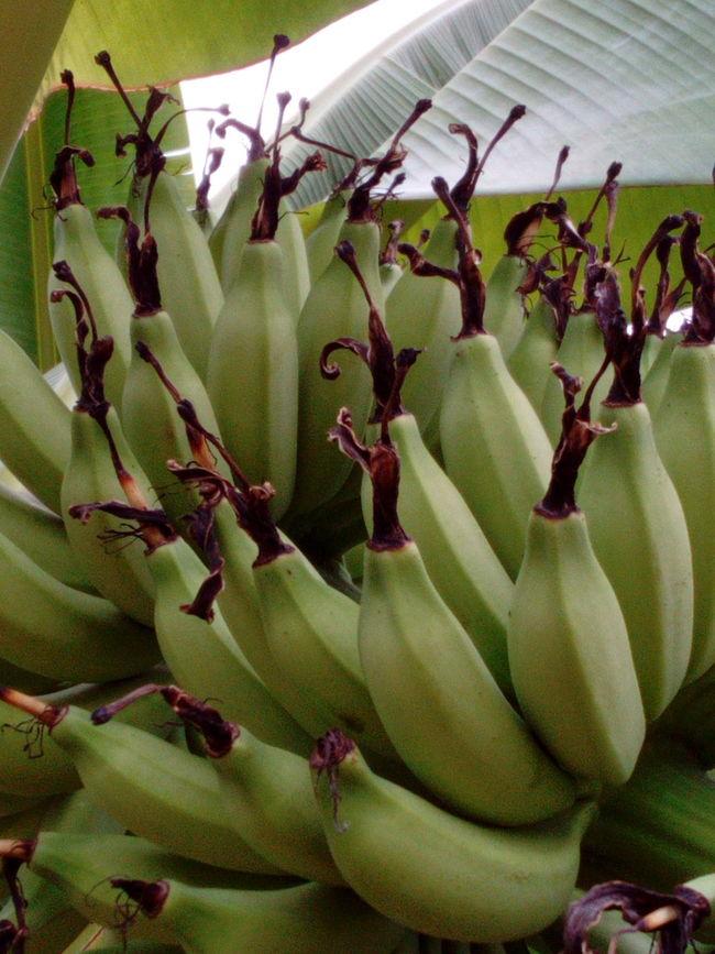 Bananas Green Bananas Banana Leaves Fruit Organic Food Healthy Food Jakarta Indonesia