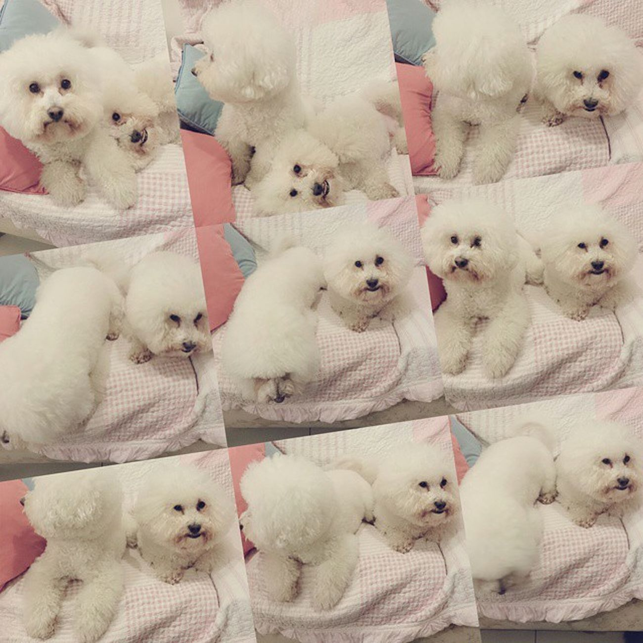 Tony和Lisa是兩坨棉花糖 Fluffy Cottoncandy Candyfloss Bichonfrise ビションフリーゼ