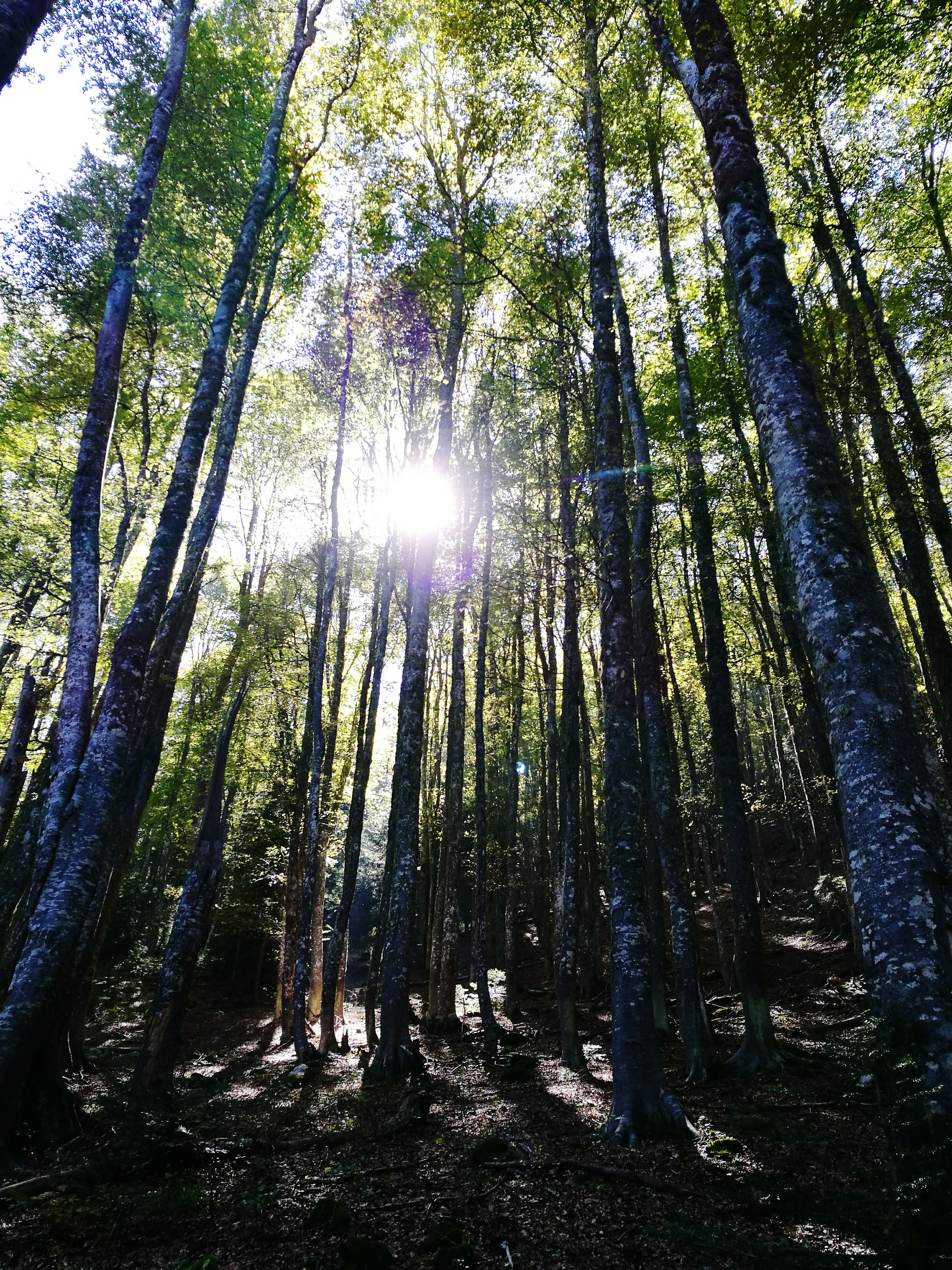 low angle view, forest, tree trunk, tree, woodland, tranquility, tranquil scene, scenics, growth, nature, beauty in nature, sunlight, sun, non-urban scene, tall - high, branch, day, sunbeam, outdoors, green color, tall, green, back lit, solitude, woods, remote, bright