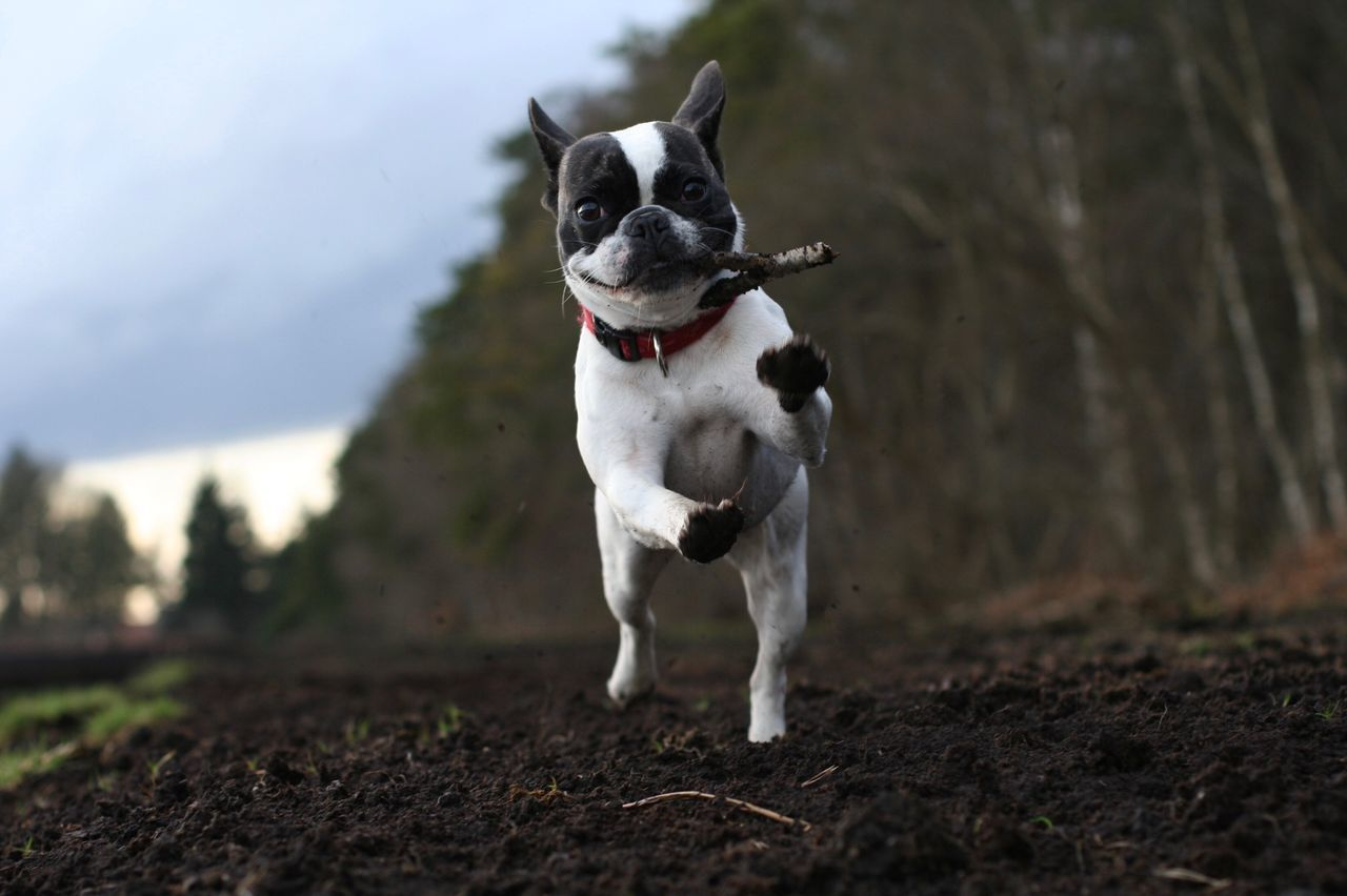 Portrait Of French Bulldog Jumping On Field At Farm