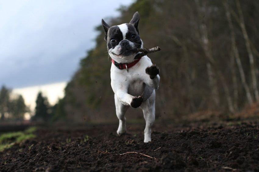 Frenchbulldog Französiche Bulldogge