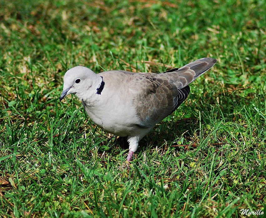 Pajaros Pajaro Turtledove Nikonphotography NikonD60 Nikonespaña Bird Photography Aves Aves 🐥🐤🐥 Tortola Beauty In Nature Nature Animal Wildlife Animals In The Wild Bird
