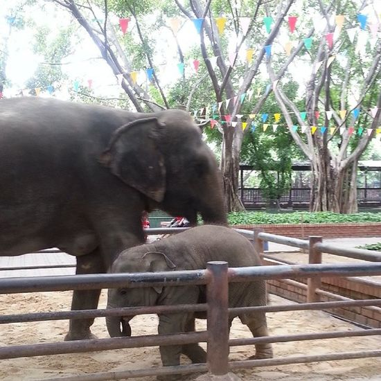 子供の象かわいかった(*´ω`*) 象 Elephant Elephant