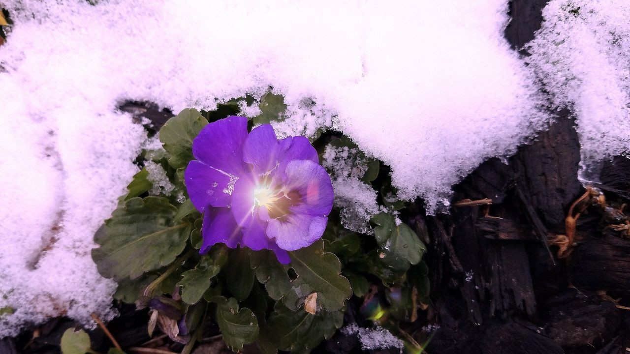 Who are you calling a pansy? Snow Flower Purple No People Low Angle View Nature Outdoors Close-up Beauty In Nature Day First Snow Of The Season Cold Temperature