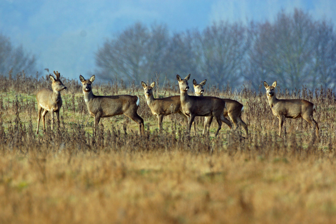 Animal Themes Animals In The Wild Beauty In Nature British Wildlife Day Deer Deer In A Clearing Deer In Autumn Deer On The Side Of Road Deer Rut Grass Large Group Of Animals Mammal Mammals Nature No People Outdoors Roe Deer Sky
