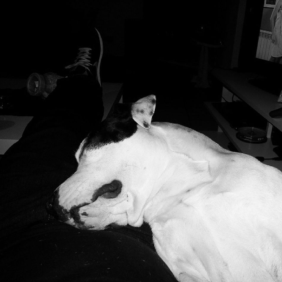 Siesta Time AmericanSttaford Ast_spain Amstaff Staffy Dog Thor