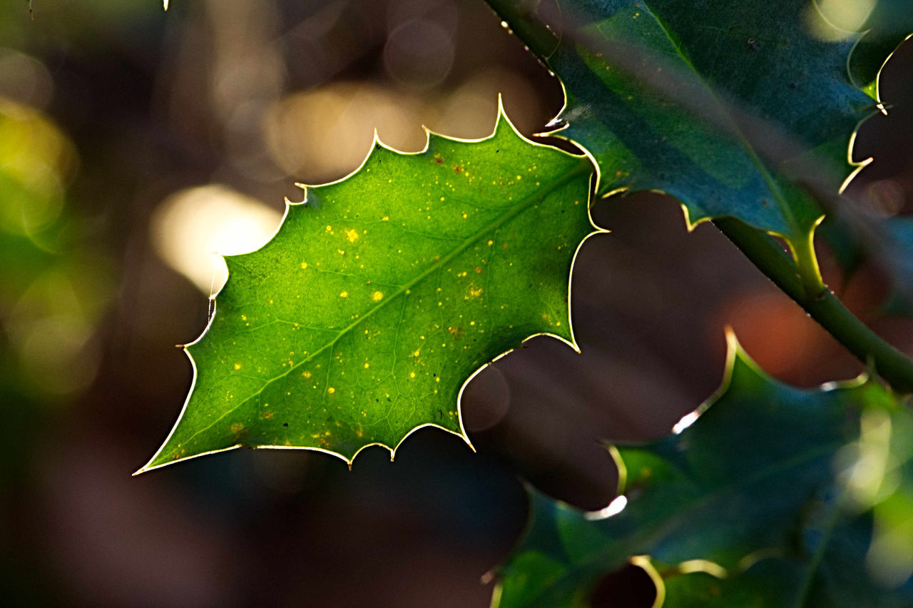 Close-Up Of Wet Maple Leaf