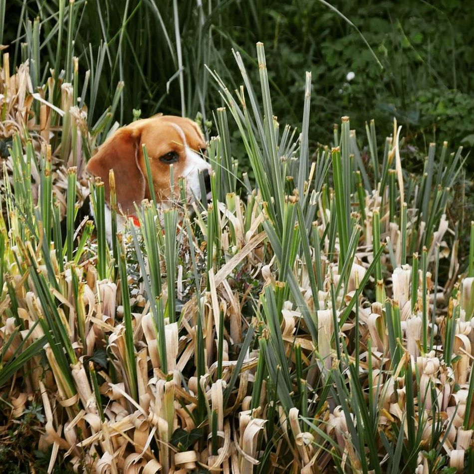Animal Themes Beagle Beaglelove Day Dog Domestic Animals Grass Growth Mammal Nature No People One Animal Outdoors Pets Plant