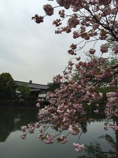 The Imperial Palace Tokyo Cherry Blossoms