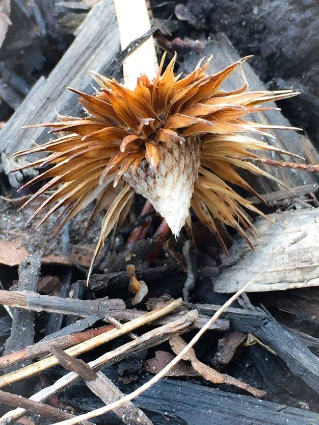 Prickly Seed Pod Autumn Browns Fallen Reseeding Showcase: March Showcase March
