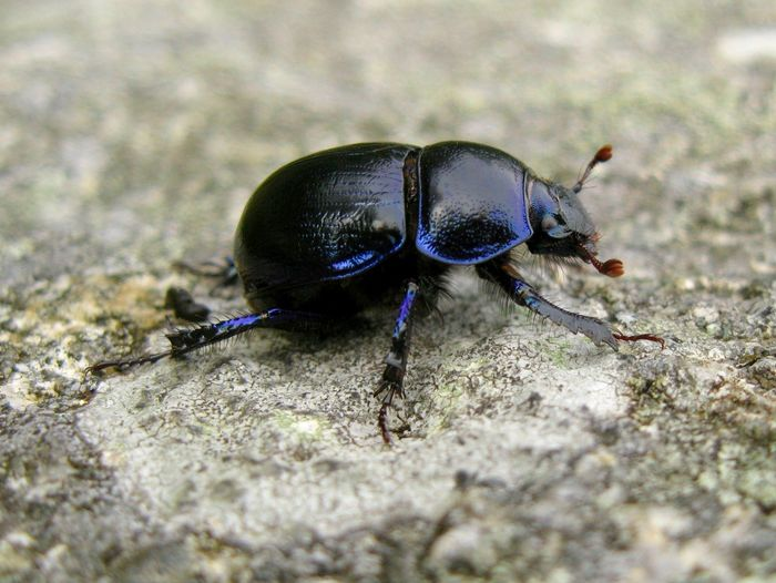 Earth-boring dung Beetles, are never Boring. Beetle Beetles Blue Beetle Bluer Than Blue Bugs Bugs Life Bugslife Dung Beetle EyeEm Nature Lover Geotrupes Stercorarius Insect Insect Macro  Insect Paparazzi Insects  Insects Collection Macro Macro Beauty Macro Photography Macro_collection Manure Scarab Scarab Beetle Scarabeo Shining