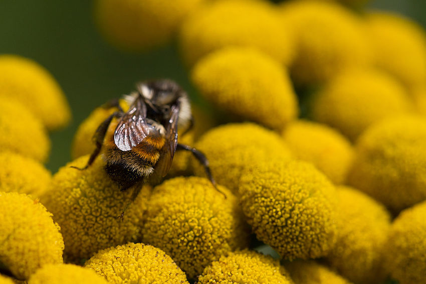 A bee busy at the tansy. Animals In The Wild Bee Bug Close-up EyeEmNewHere Flower Fragility Freshness Insect Interconnectedness Macro Macro Photography Nature Outdoors Plant Pollinator Tansy Wildflower Yellow