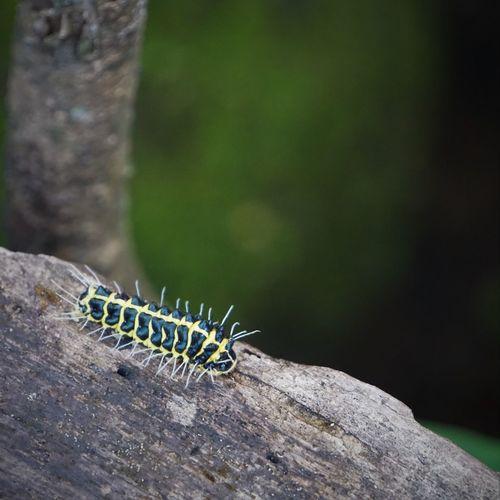 Hairy Caterpillar! #nature#garden#macro