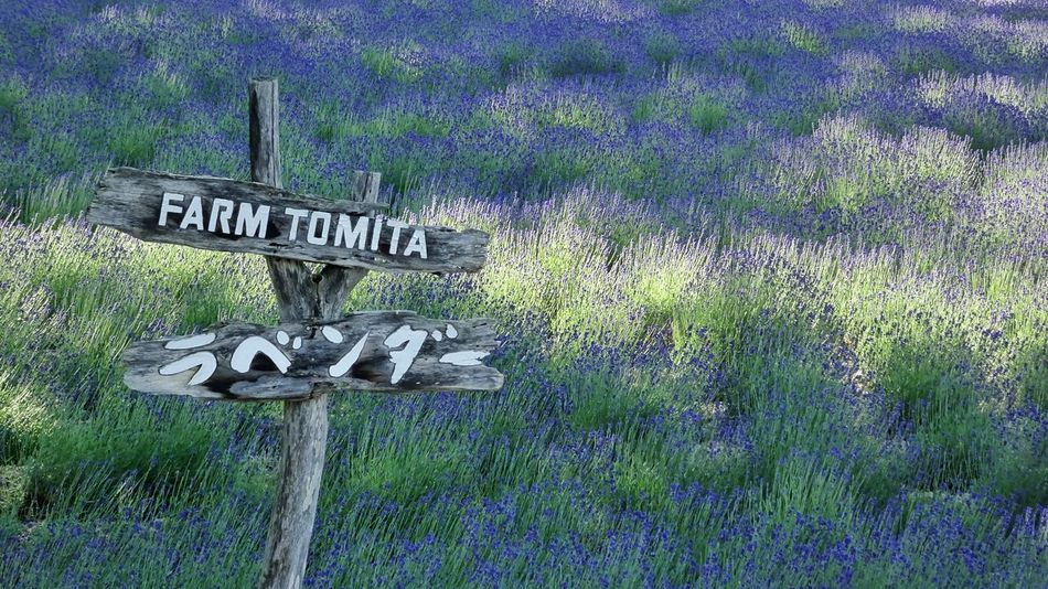 Japan Hokkaido Tomita Farm Violet Flowers Violet Color Violet Purple Lavender Lavender Flowers Lavenderfarm Lavender Garden Lavenderlove Flowers Bright Colors EyeEm Best Shots EyeEm Nature Lover EyeEm Gallery Eyeemphotography EyeEm Flower EyeEmBestPics Landscape Landscape_photography 北海道
