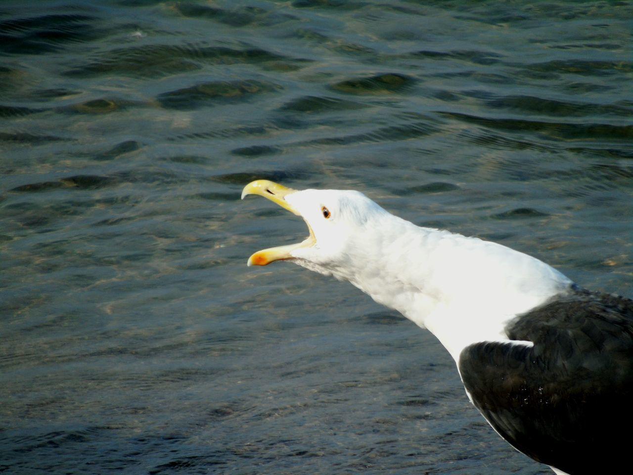 Seaside Seagull Baltic Sea Animal Bird Scream