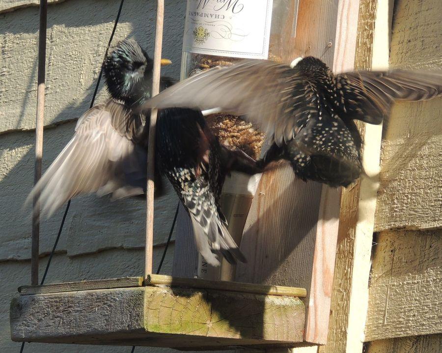 Birds Birds In My Garden Wings Spread Flapping Wings Fighting! Animal Themes Outdoors Birds Of EyeEm  Animal Wildlife Wildlife No People Day