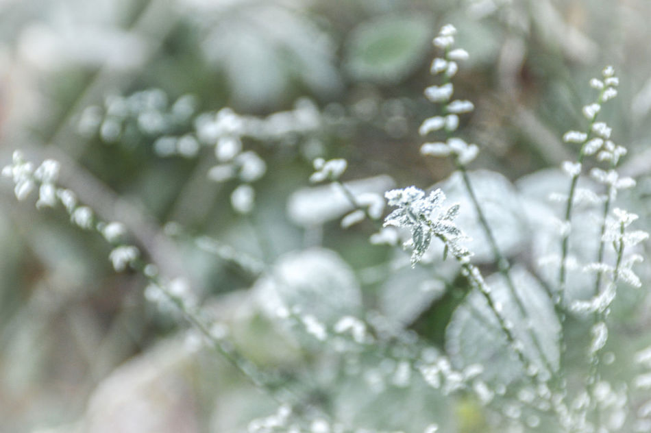 Close-up Nature Beauty In Nature Backgrounds Winter Green Color No People Snowflake Tree Fragility Outdoors Day Winterscapes Early Winter Winter Wintertime Patterns & Textures Background Photography Delicate Beauty