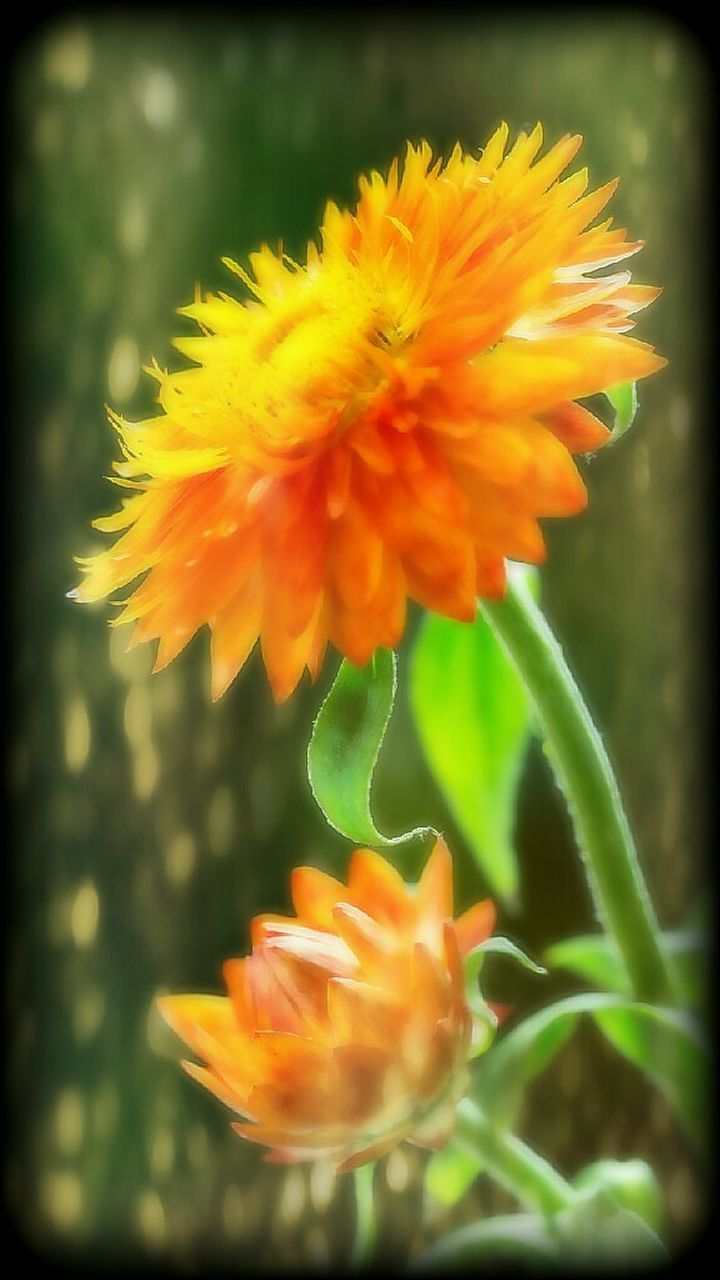 flower, petal, fragility, beauty in nature, nature, growth, freshness, plant, flower head, yellow, orange color, close-up, no people, blooming, day, springtime, outdoors