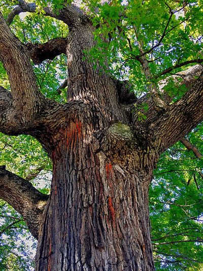 Tree Tree Trunk Branch Nature No People Outdoors Landscape_Collection Beauty In Nature Large Tree Large Tree Trunk Relaxation Scenics Landscape Looking Up At The Sky Trees
