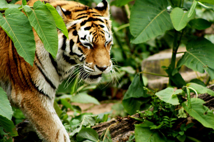 Animal Animals Nature Nature Photography Tiger Tiger Face Tiger Love Zoo