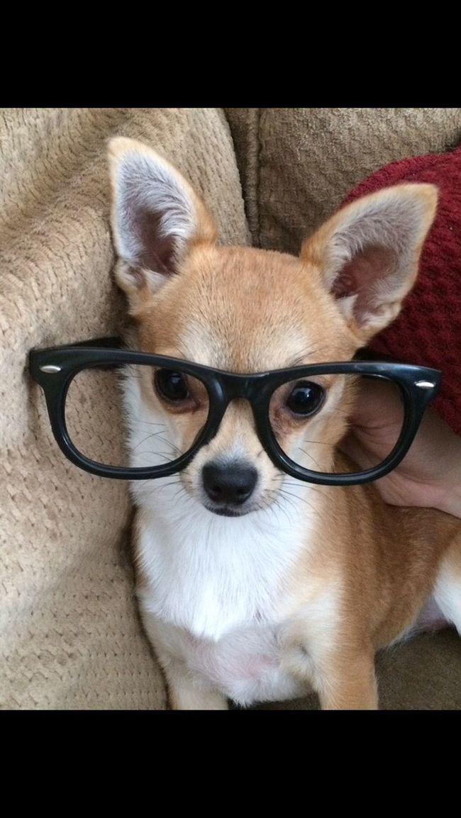 Azalea Puppies Chihuahua Love ♥ Cute Smart Girl