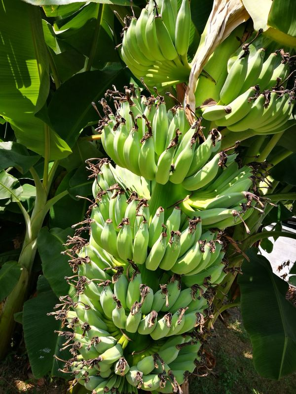banana in thailand Green Color Agriculture Fruit Fruit Tree