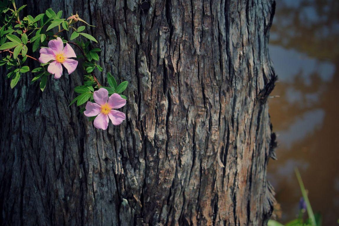 Tree Trunk Fragility Leland Beauty In Nature Freshness Growth Nature Freshness Riverside Photography Pink Flower 🌸 Tranquil Scene Flowerphotography Flowers, Nature And Beauty The Great Outdoors - 2017 EyeEm Awards EyeEmNewHere EyeEm Selects