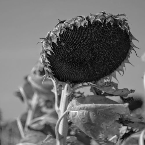 Visual Journal October 2017 Southeast, Nebraska Camera Work EyeEm Best Shots EyeEm Best Shots - Black + White EyeEm Best Shots - Nature EyeEm Masterclass FUJIFILM X-T1 Getty Images MidWest Nebraska Sunflower Visual Journal Always Taking Photos B&w Flowers Beauty In Nature Blackandwhite Close-up Day Eye For Photography Flower Flower Head Fragility Freshness Growth Helios 44-2 Manual Focus Monochrome Nature No People Outdoors Photo Diary Plant Practicing Photography Rural Life S.ramos October 2017 Schwarzweiß Sunflower Series