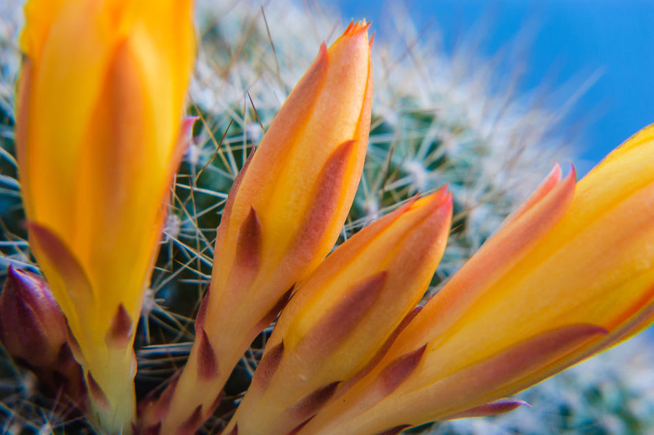 Rebutia Beauty In Nature Close-up Day Flower Flower Head Fragility Freshness Growth Nature No People Orange Color Outdoors Plant Sky Nikonphotography