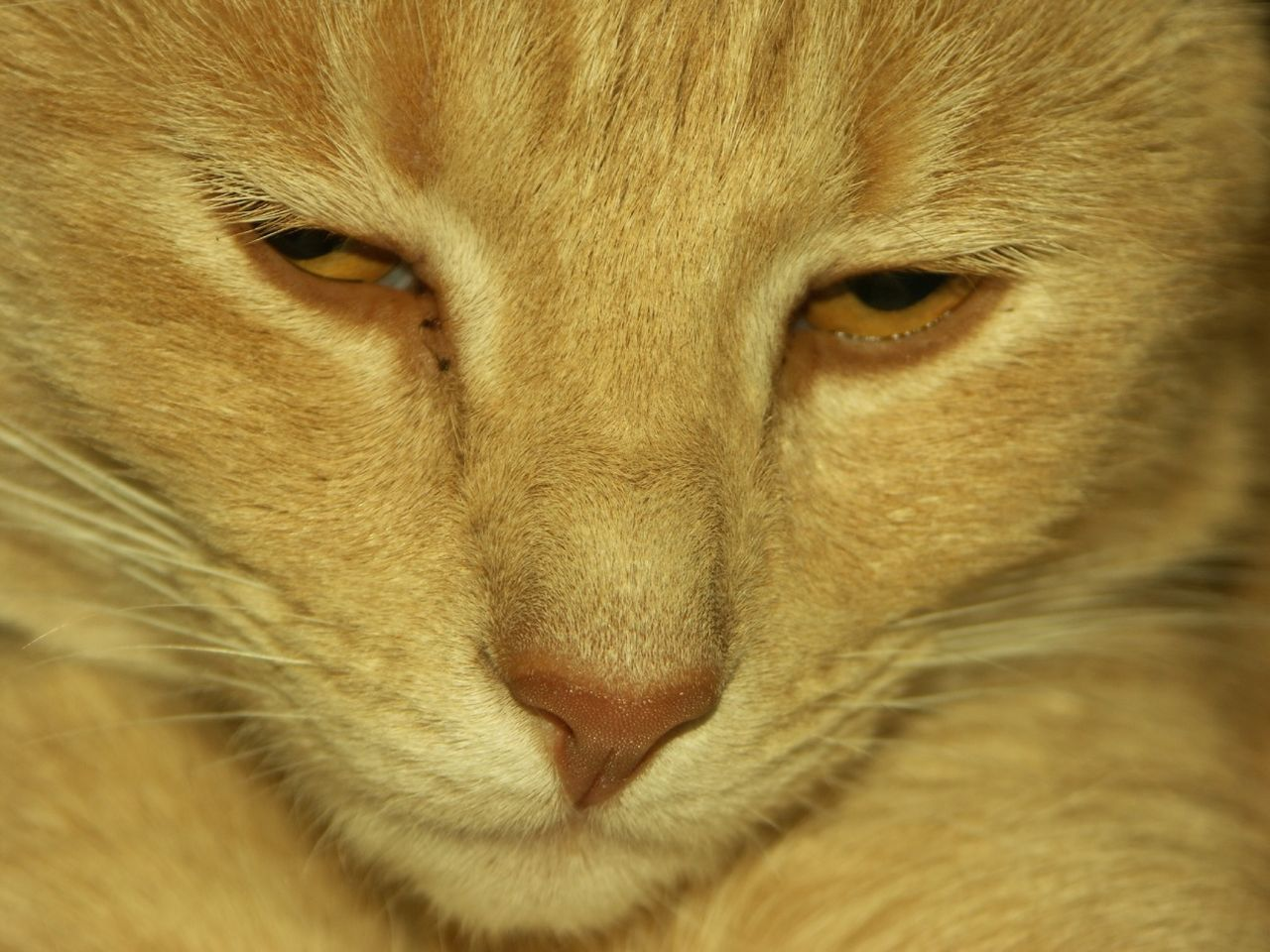 one animal, animal themes, mammal, close-up, animal head, pets, no people, portrait, domestic animals, feline, domestic cat, full frame, indoors, day