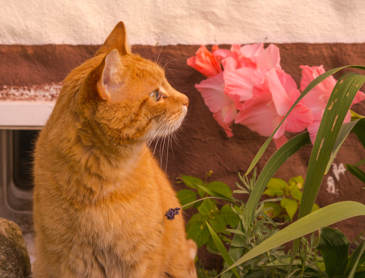 domestic cat, pets, one animal, domestic animals, animal themes, feline, mammal, no people, ginger cat, whisker, day, indoors, flower, nature, close-up