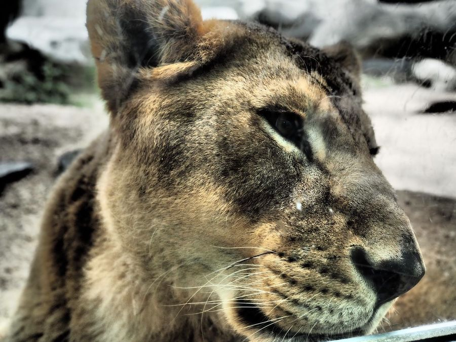 Lion Zoo Wild First Eyeem Photo Dramatic Cool Greatanimals Awesome Qeen