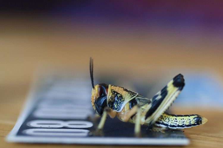 Close-up Desert Locust EyeEmNewHere Insect Locust Macro Pet Supplies Prey Reptile Care Reptile Food Single Insect Tabletopphotography
