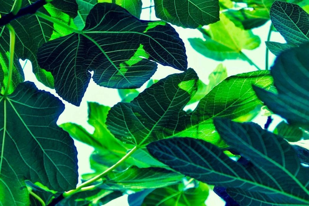 greene leafs Green Leaf Leafs Plant Plants Flora Nature Canopy Colorful Light And Shadow Botanical Above Green Green Green!  Growth RePicture Growth Selective Focus Stem Leafs Colors Leafs Photography Plants 🌱 Backgrounds Background Dreamy Beauty In Nature Green Color
