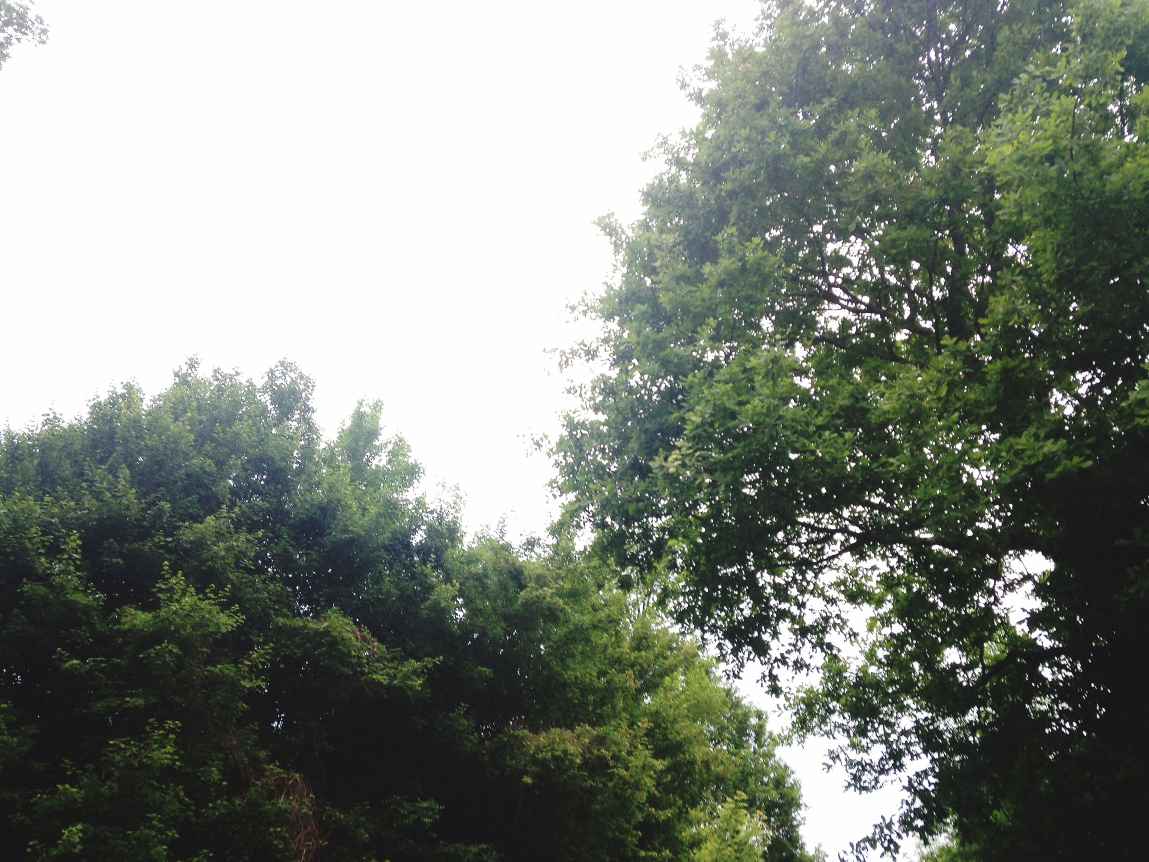 tree, low angle view, clear sky, growth, green color, lush foliage, tranquility, nature, branch, beauty in nature, copy space, tranquil scene, forest, green, scenics, day, outdoors, no people, sky, leaf