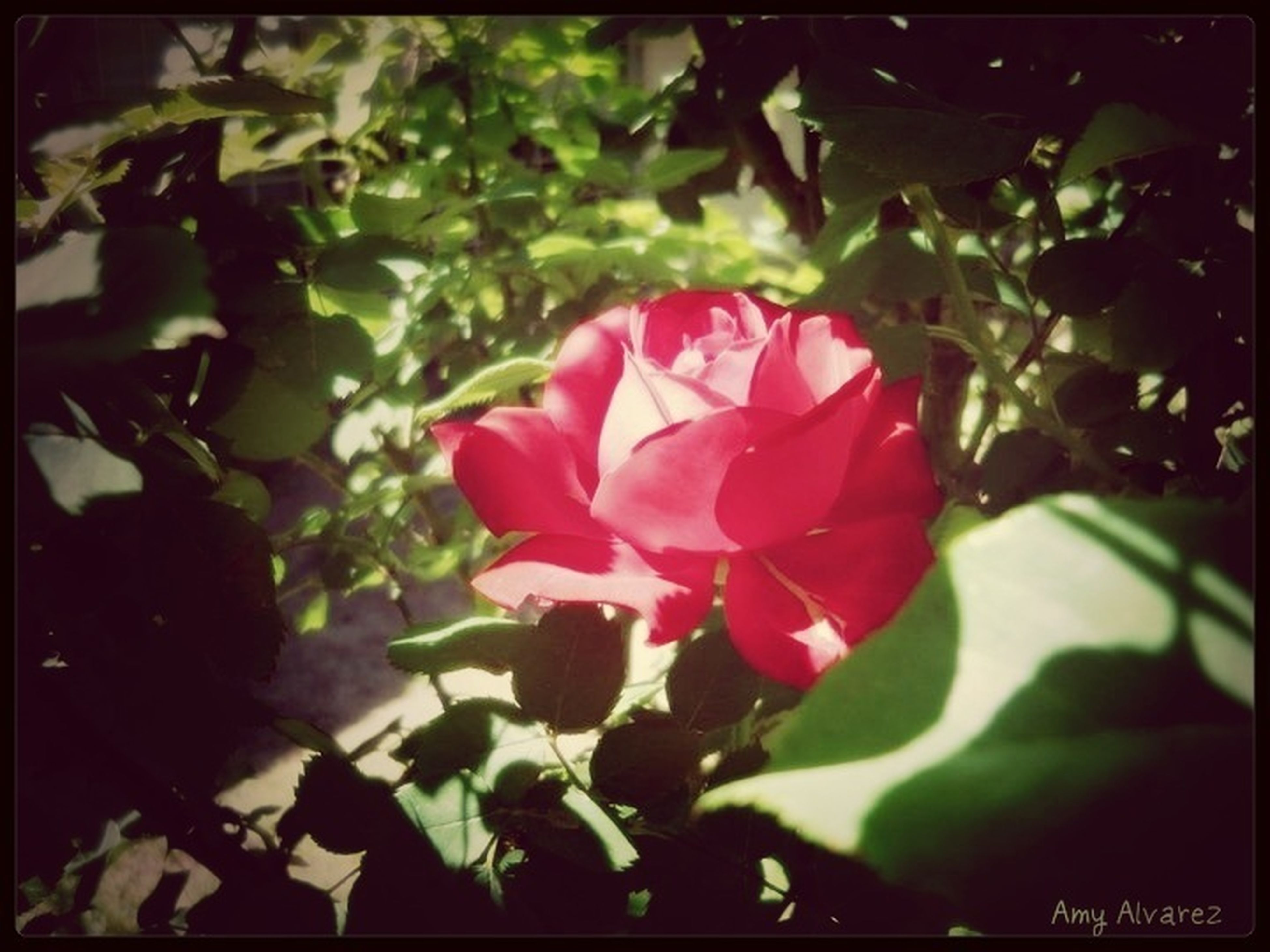 flower, petal, freshness, fragility, growth, leaf, flower head, transfer print, pink color, beauty in nature, close-up, nature, blooming, focus on foreground, auto post production filter, plant, single flower, in bloom, blossom, rose - flower
