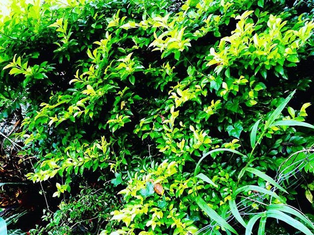 --> I forgot what this bush is called... ^_^ Naturelovers Naturepics Nature Naturephotography Instanature Naturalist Natural Leaves Green Greenery Bush Plants Garden Instatravel Instadaily Instagood Plantsofinstagram Naturephoto Natureporn