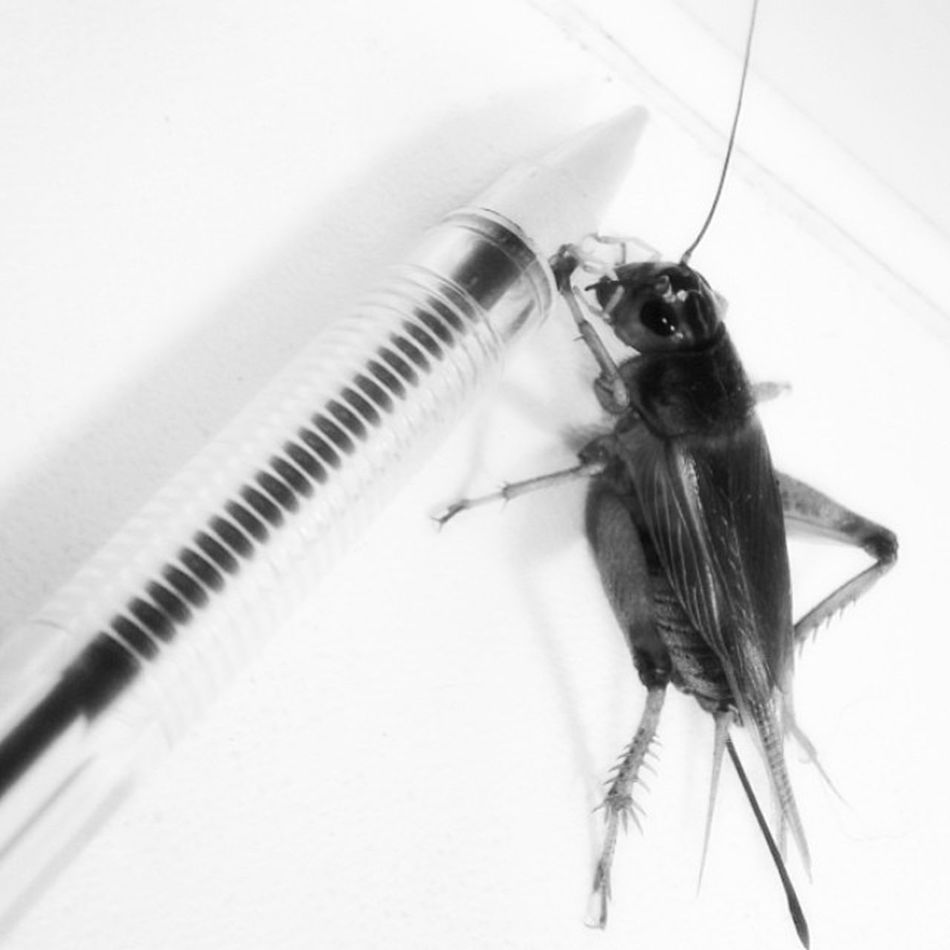 Insect Crickets Pen Welcome To Black