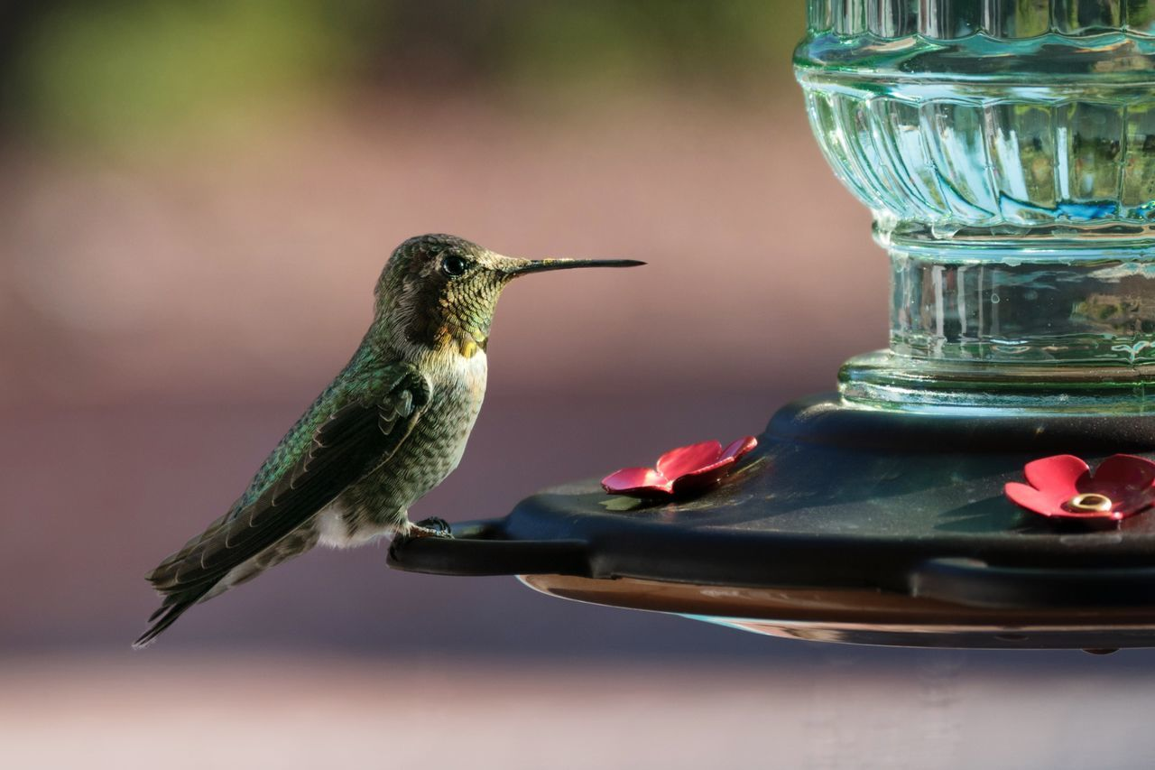 Beautiful stock photos of hummingbird, Animal Themes, Animal Wildlife, Animals In The Wild, Bird