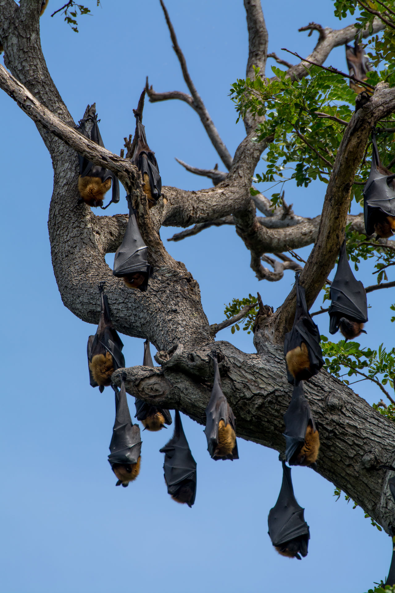 Animal Themes Animal Wildlife Animals In The Wild Bat - Animal Beauty In Nature Branch Clear Sky Day Flying Fox Hanging Hunging A Tree Low Angle View Mammal Nature No People Outdoors Sky Sleeping Sri Lanka Tree