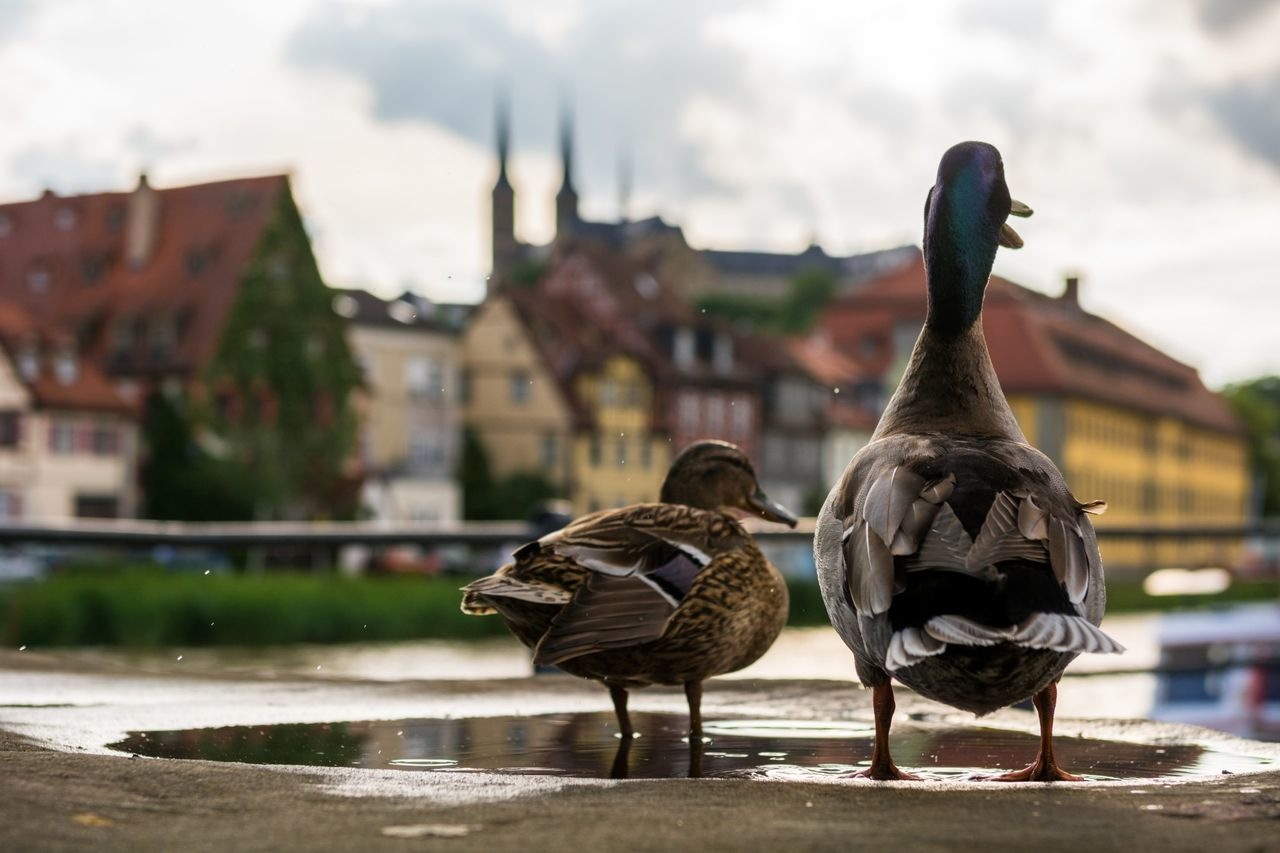 Ducks Duck Waterbird Bird Animal Wildlife Nature Quack City Animals Bamberg  Germany Deutschland UNESCO World Heritage Site Am Kranen Bamberg Michaelsberg Abtei Sunset Regnitz Ente Bird Photography Tiere Bayern