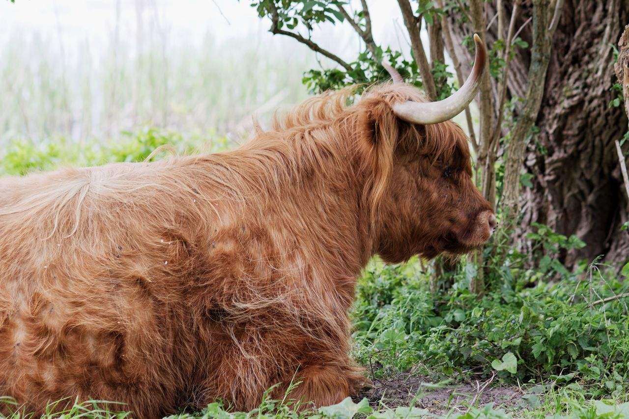 Highland Cattle Dutch Landscape Spring2015 ON MY KNEES