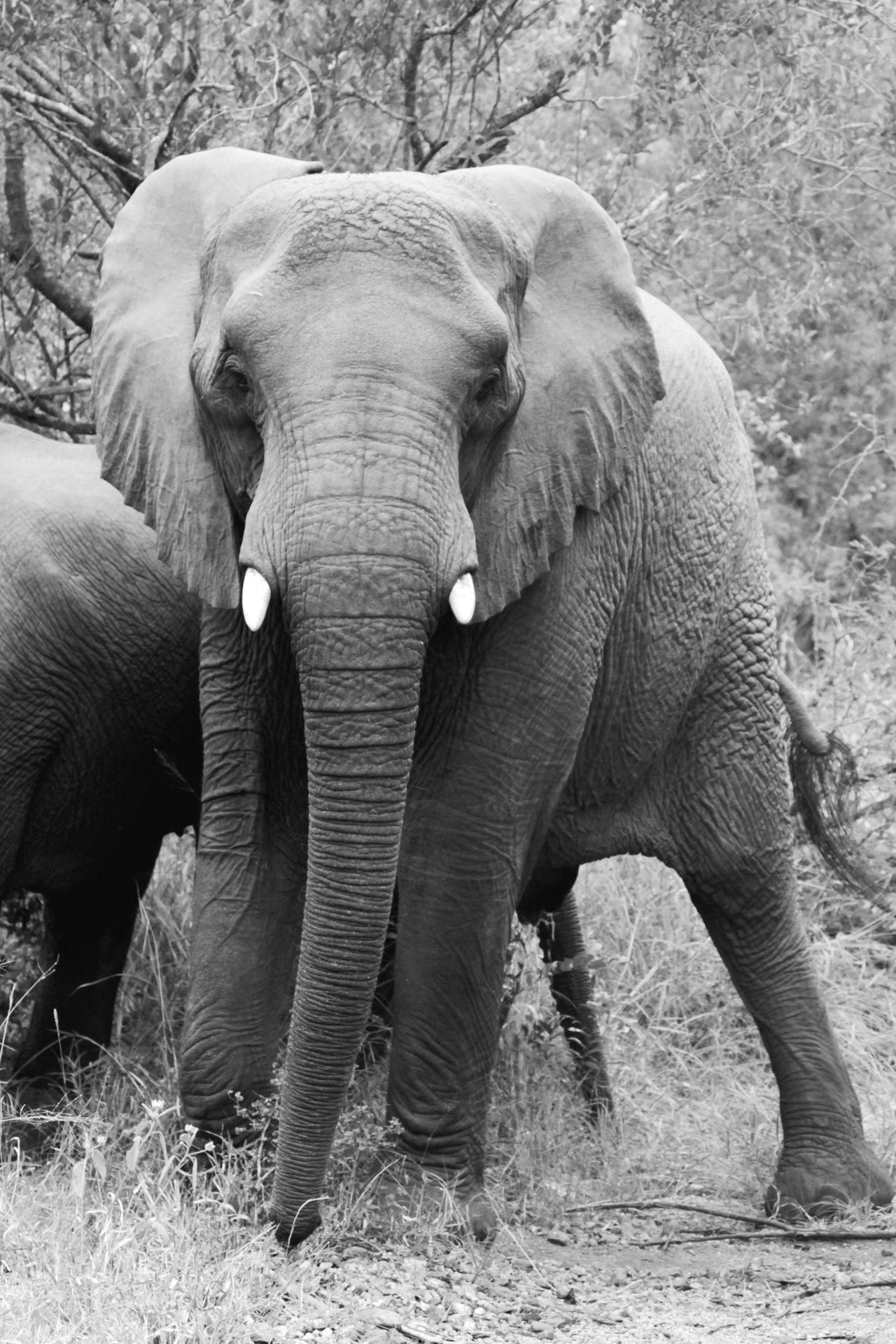 Elephant Animal Trunk Animal Themes Animal Wildlife Animals In The Wild Nature Front View Safari Animals Tusk Standing Mammal African Elephant Beauty In Nature One Animal No People Animal Outdoors Day Full Length Portrait Wildlife Wildlife & Nature Young in Kruger Park , South Africa MISSIONS: The Great Outdoors - 2017 EyeEm Awards The Portraitist - 2017 EyeEm Awards
