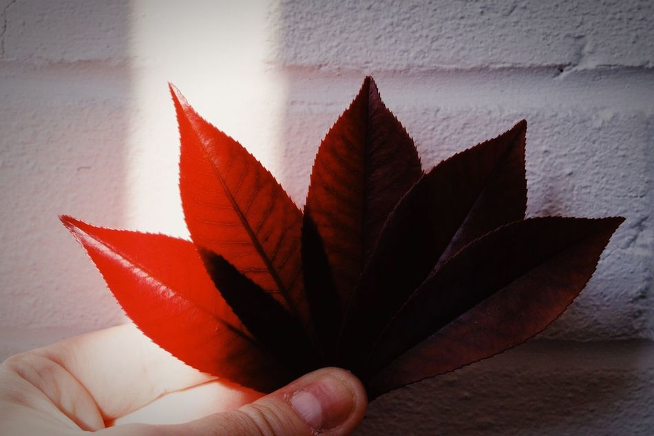 Art Is Everywhere 50 Shades of Red | Close-up Human Hand Leaf One Person Day Nature Red Light And Shadow Light Shadow Creativity Creative Light And Shadow Eyeemphotography Eye4photography  EyeEm Gallery Taking Photos Beauty In Nature