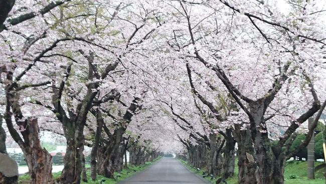 函館 松前藩戸切地陣屋跡 sakura cherry blossoms hakodate