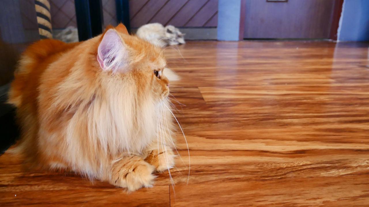 pets, domestic animals, one animal, animal themes, domestic cat, mammal, hardwood floor, feline, indoors, no people, sitting, day, close-up, persian cat