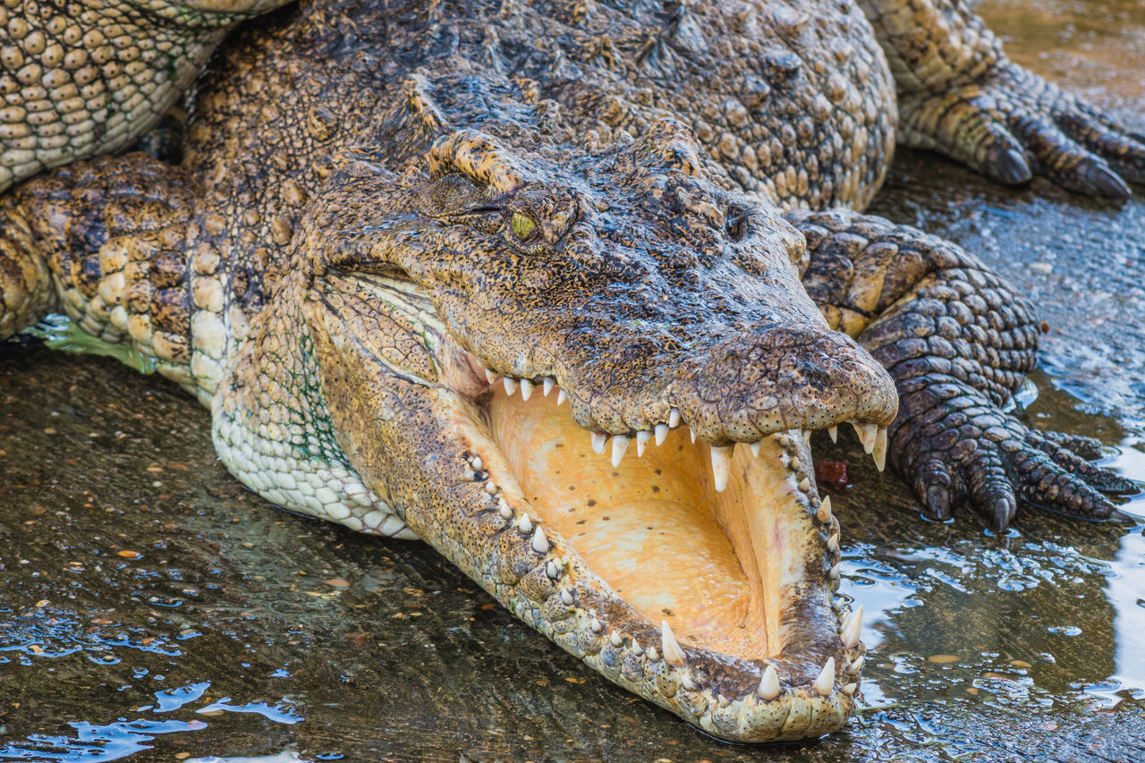 Crocodile With Mouth Open At Lakeshore