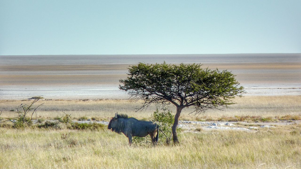 Lonely Wildebees Antilope in the shade of an Acacia in the planes of Etosha, Namibia Antilope Wildlife Landscape Acacia Trees Nature Safari Animals Africa Namibia Etosha Wildlife & Nature Nature_collection