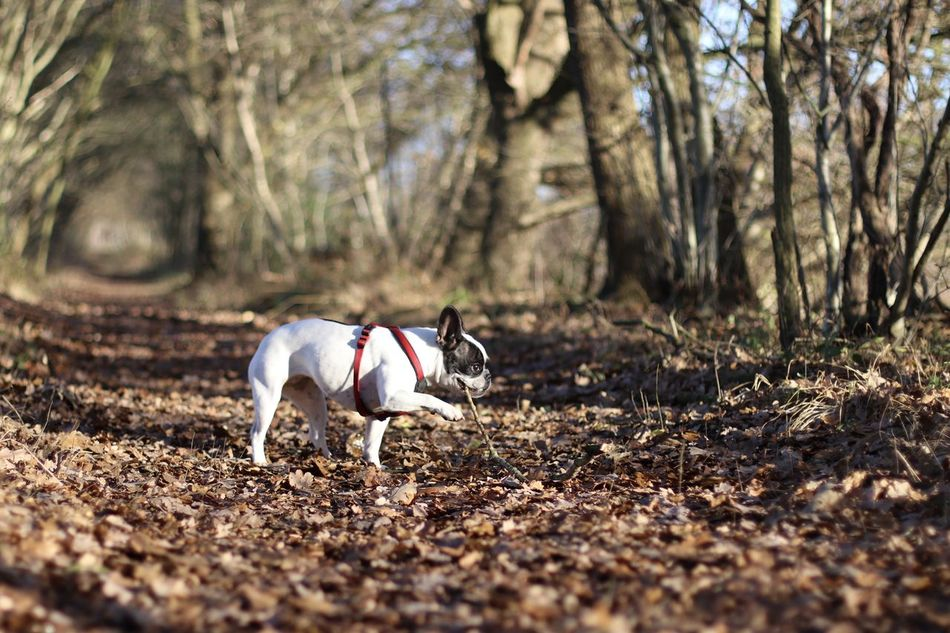 Bulldog Bulldog Francese Bulldog Français Bully Dog Dog In The Forest Dog In The Woods Dog Outside Dog With A Stick Französische Bulldogge  Französische Bulldogge Im Wald French Bulldog Frenchbulldog Frenchie Hund Hund Im Wald Hund Mit Stock In The Forest In The Woods Niedlicher Hund Outdoors Spaziergang Sweet Dog  Winter Sun Wintersonne